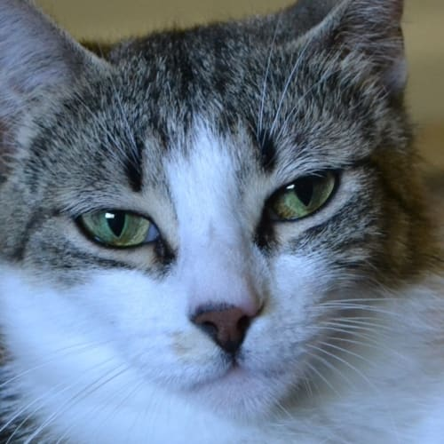 Selma (Located in Belgrave) - Domestic Short Hair Cat