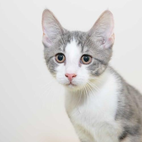 Barrel - Domestic Short Hair Cat