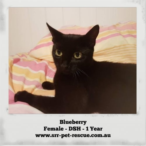 Blueberry - Domestic Short Hair Cat