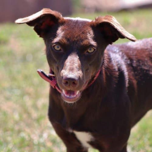 Remi  *Application Pending* - Kelpie Dog