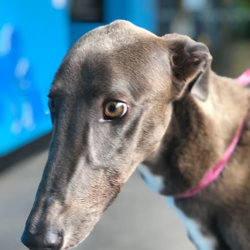 Digger - Greyhound Dog