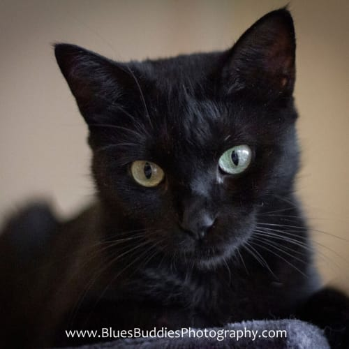Lilith- $49 Special - Domestic Short Hair Cat