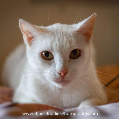 Frosty - Domestic Short Hair Cat