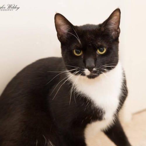 AC1650 - RyRy - Domestic Short Hair Cat