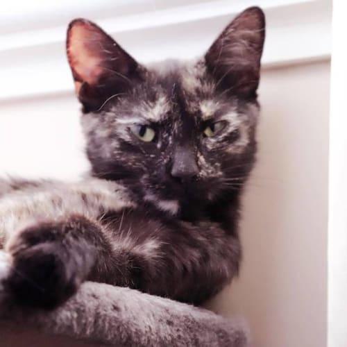 AC1084 - Astrid - Domestic Short Hair Cat