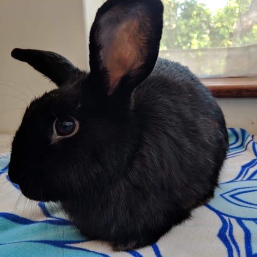 Frida - Dwarf Rabbit