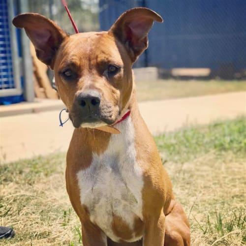 Sabrina - American Staffordshire Bull Terrier Dog