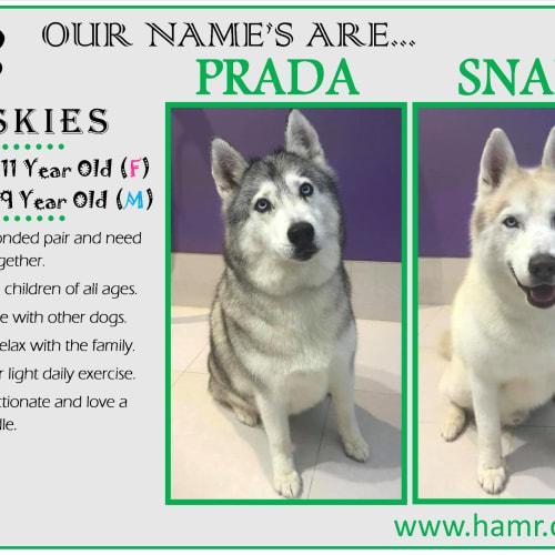 Prada(11) and Snape(9) - Siberian Husky Dog