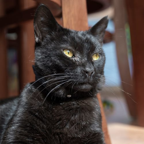 Midnight **on trial with my new family** - Domestic Short Hair Cat