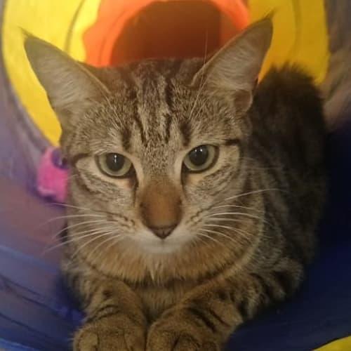 Moana - Domestic Short Hair Cat