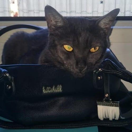 Dorothy - Domestic Short Hair Cat