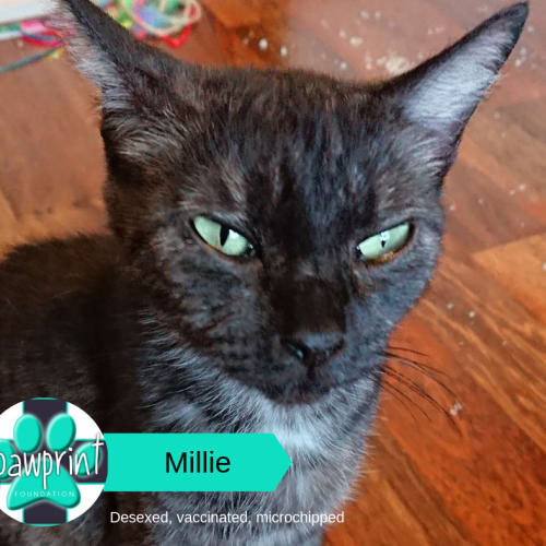 Mille - Domestic Short Hair Cat