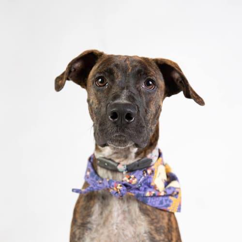 Giuseppe - Boxer Dog