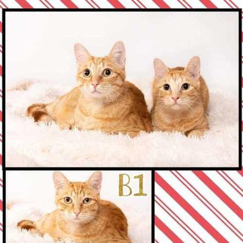 B1 and B2 - Domestic Long Hair Cat