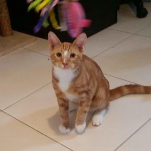 Ronald & Kurt (Gorgeous Pair) - Domestic Short Hair Cat