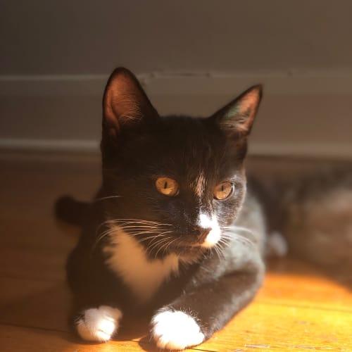 Blake - Domestic Short Hair Cat