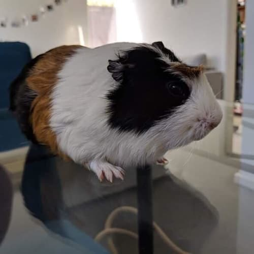 Neo, Mr Bojangles, and Quiff - Crested Guinea Pig