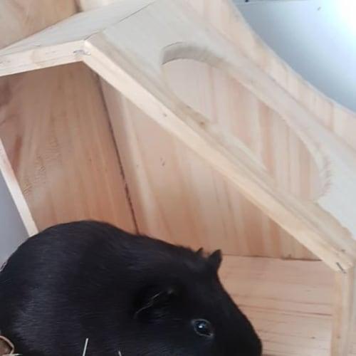 Waffle - Smooth Hair Guinea Pig