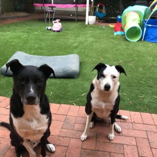 Bonnie & Clyde🐾🐶 - Staffy Dog