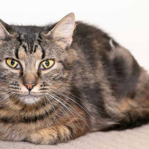 AC1058 - Pauline - Domestic Short Hair Cat