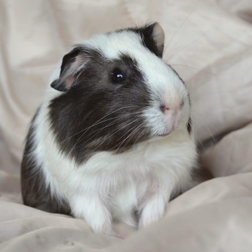 Ringo -  Guinea Pig