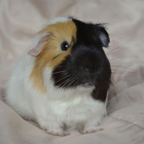 John -  Guinea Pig