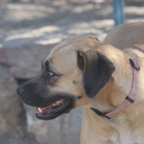 ali - Rhodesian Ridgeback Dog