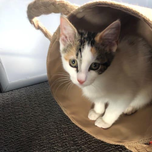 Freda - Domestic Short Hair Cat