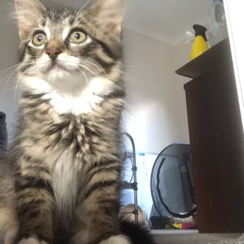 Cyndi - Domestic Long Hair Cat
