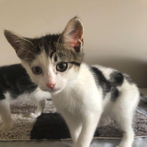 Lennon - Domestic Short Hair Cat