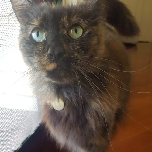 Cleo - Domestic Medium Hair Cat