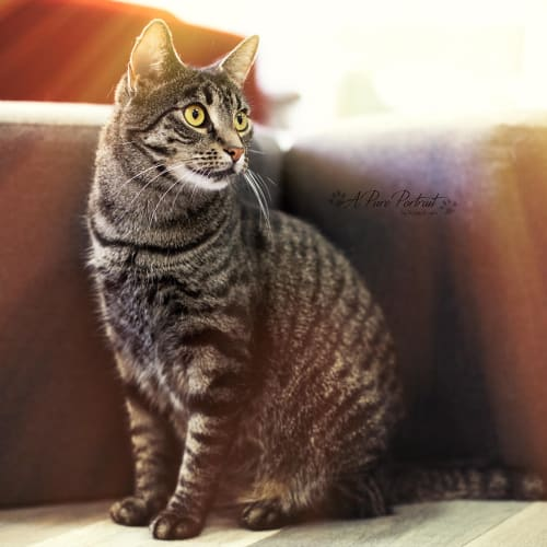 Opal  - Meet me at Cat Lounge - Neko HQ Preston  - Domestic Short Hair Cat