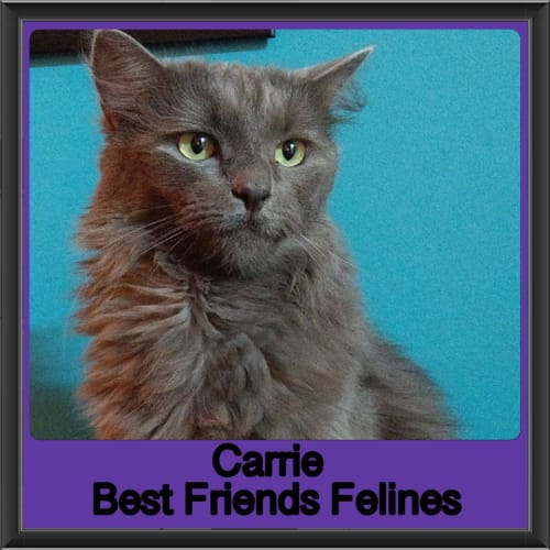 Carrie  - Domestic Long Hair Cat