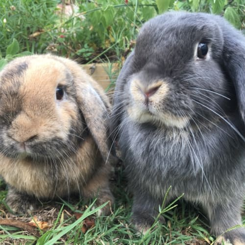 Bentley & Lottie  - Mini Lop Rabbit