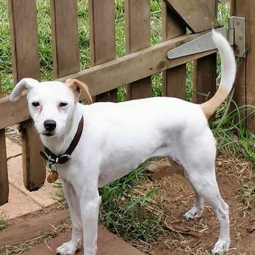 Bridget - Jack Russell Terrier Dog