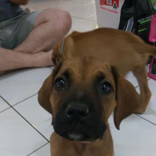 Violet - Mastiff Dog