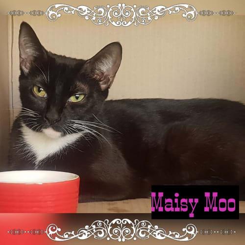 Maisy Moo - Domestic Short Hair Cat