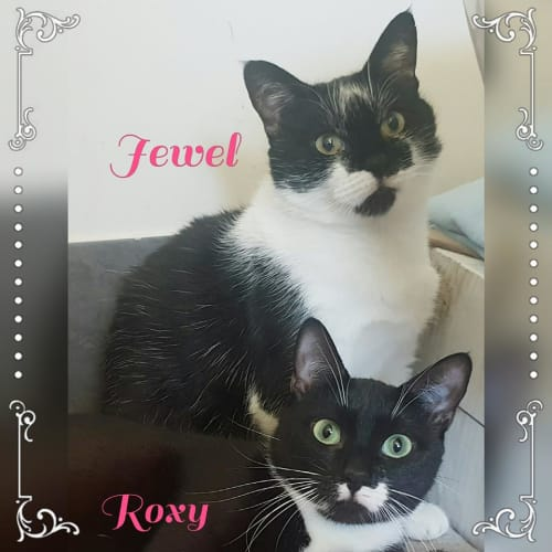 Jewel & Roxy - Domestic Short Hair Cat