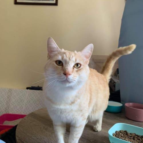 Frankie - Domestic Short Hair Cat