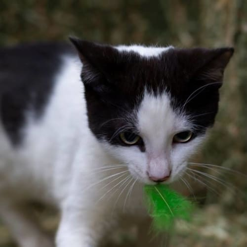 Ralph **2nd Chance Cat Rescue** - Domestic Short Hair Cat