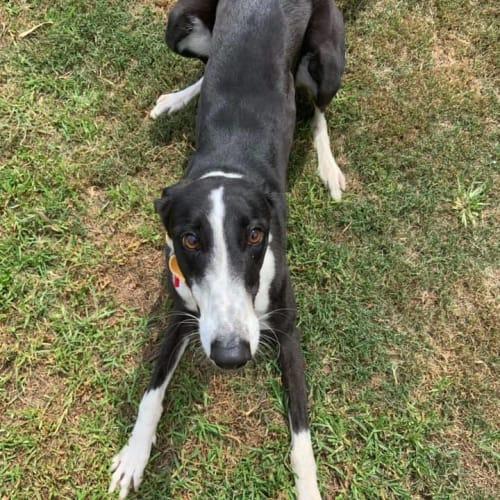 Nancy (Adoption Pending) - Greyhound Dog