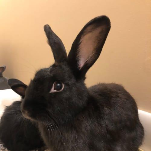 Missy - Dwarf Rabbit