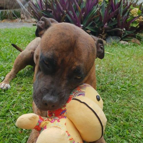 Lady - Staffy Dog