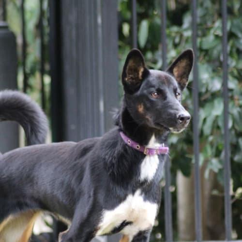 Dash  - Dingo Dog
