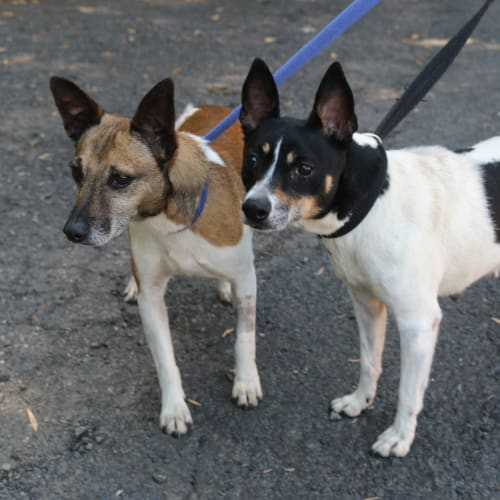 Prince and Missy - Miniature Fox Terrier Dog