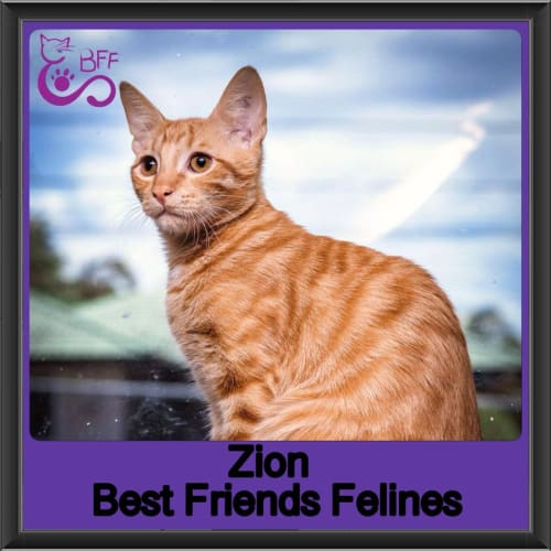 Zion  - Domestic Short Hair Cat