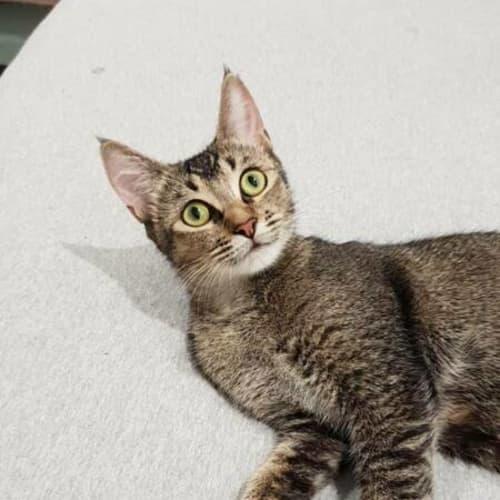 Sanura - Domestic Short Hair Cat