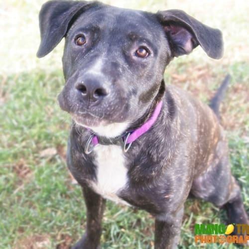 Maisie ~ A big lovebug - Mastiff Dog