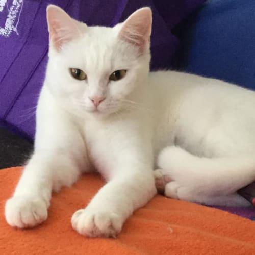 Whisper IF039-18 - Domestic Short Hair Cat