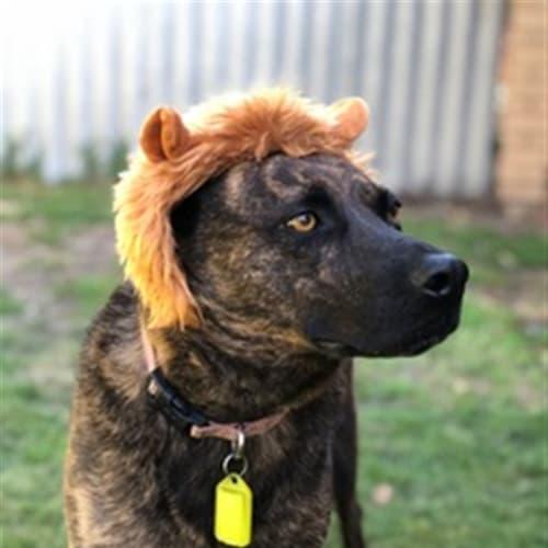 Olivia - Kelpie x Staffy Dog